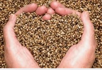 SPO Networks Cannabis Seeds